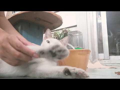 Cat Baby Shark Challenge