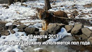 18 марта 2017 г. тигрёнку Шерхану исполняется полгода