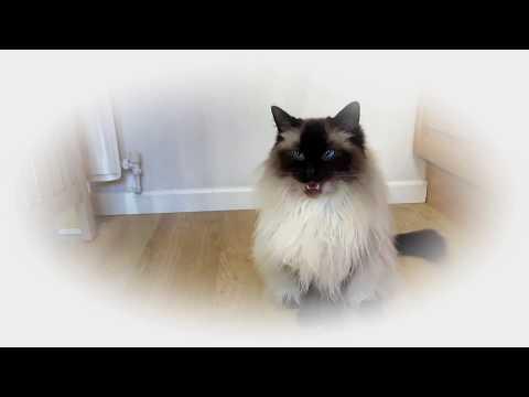 Ragdoll Cats - Ned & Martha Singing Magic Fly