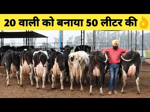 Top Quality HF Cows Dairy farm in Haryana India|How increase Milk/Lactation|Pure ki Pehchan