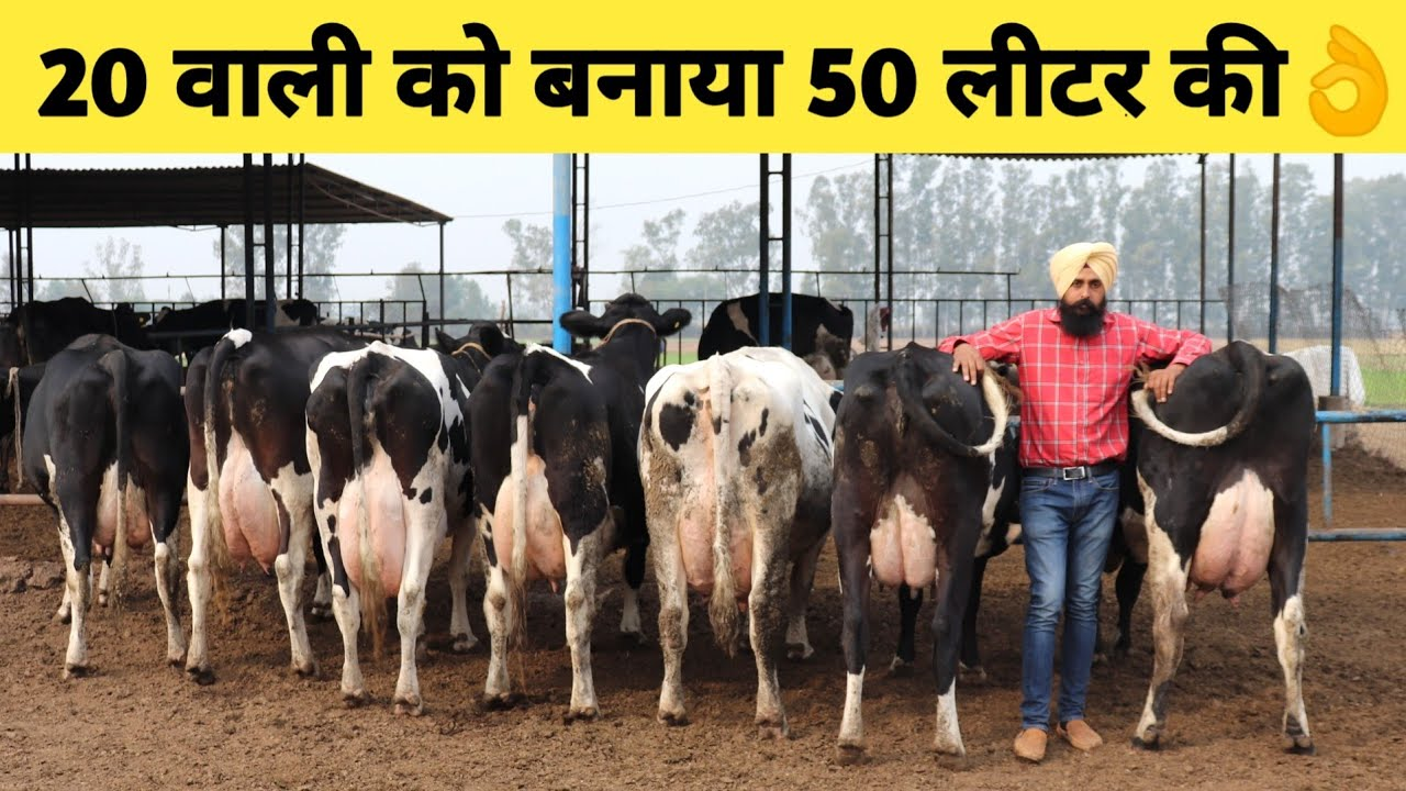 Top Quality Hf Cows Dairy Farm In Haryana Indiahow -6984