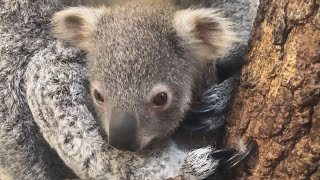 Zoo Names Baby Koala Hope as Tribute to Australia Wildfires