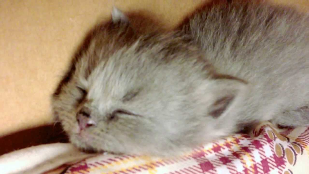 munchkin baby kittens lullaby 5 scottish fold cute kittens