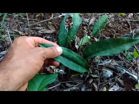 Orquideas queimadas em seu habitat natural oeceoclades maculata