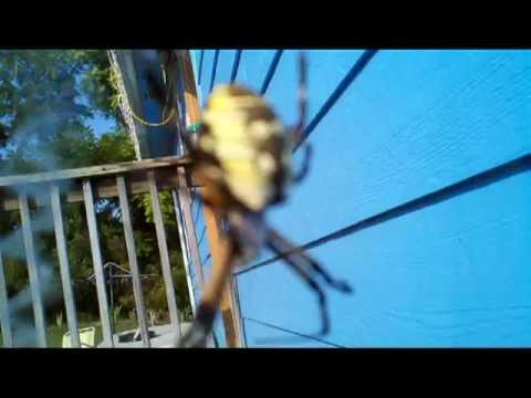 Large Black And Yellow Argiope Spider Bites Guy Youtube