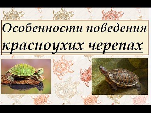 Особенности поведения красноухих черепах