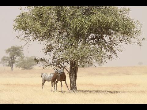 Scimitar-horned oryx returns to Sahara