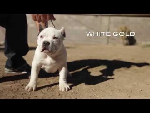 AMERICAN BULLY KENNEL - MIRANDA FAMILY BULLIES