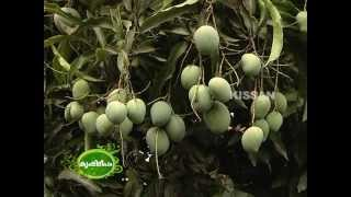 Commercial Mango cultivation by  group of farmers in Palakkad district