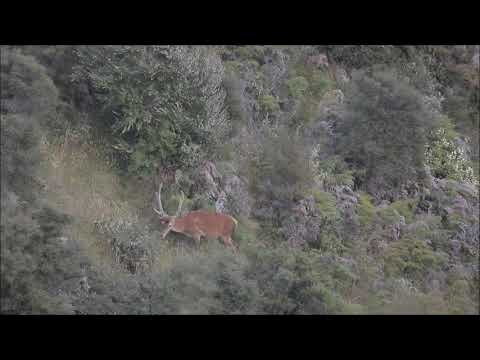 The Hunt For A Mates First Red Deer
