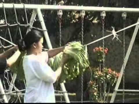 บ้านเกษตร : วิธีปลูกผักกาดเขียวปลี