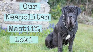 Remembering our Neapolitan Mastiff, Loki.