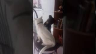 Ягдтерьер и кот друзья