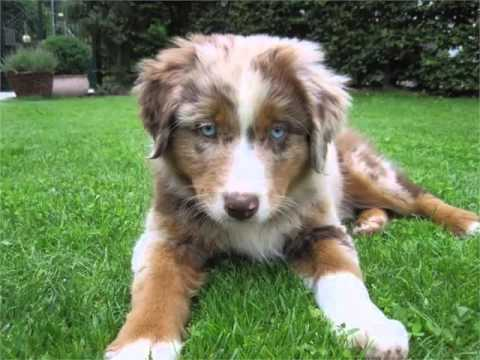 Australian Shepherd Red Merle Picture Collection And Ideas - Dogs Breed