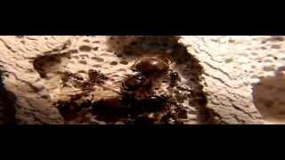 05.01.2013 Z życia mrówki (Hurtnica pospolita) Lasius niger Dzień 131 [HD].