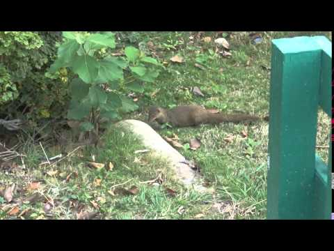 2016-04-17 (2) St Kitts Mongoose on Resort Property
