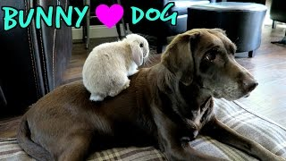 Marshmallow My Cute Holland Lop Bunny Playing With My Dog + Bunny Playing In Snow
