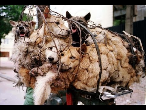 yulin china dog stealing beating amp eating ice cube festival june 16