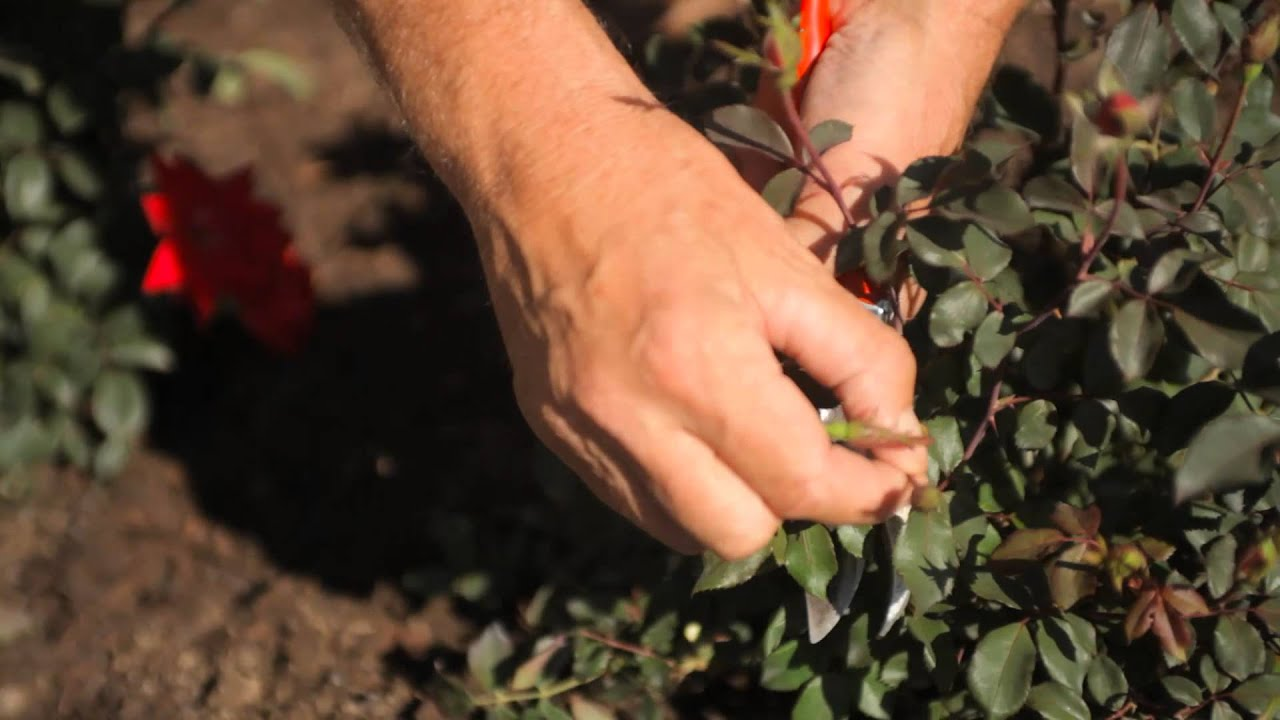 diy winter pruning for knockout roses fall u0026 winter gardening