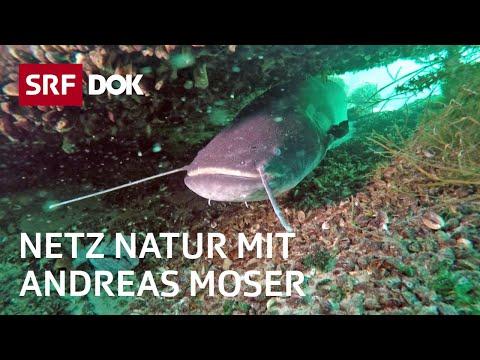 Fische – Unsere Verwandten Im Wasser | NETZ NATUR Mit Andreas Moser | Doku | SRF DOK