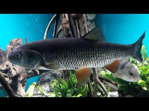 Рыбы Ленинградской области. Как выглядит карась, плотва, красноперка, пескарь, уклейка, голавль?