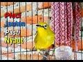 Semua Jenis Pleci Jantan Bakalan Nyaut Terangsang Untuk Bunyi  Mp3 - Mp4 Download
