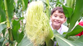 Publication Date: 2019-04-05 | Video Title: Sweet Corn Sharing 201819 - PL