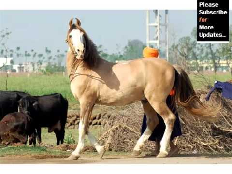 Picture Idea Of Horses And Horse Breed | Marwari Horse