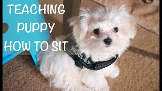 TEACHING PUPPY HOW TO SIT (MALTESE)
