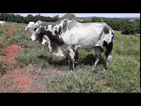 touro gigante mais comprido que já visto