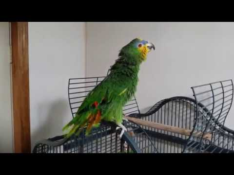Gabby orange winged  Amazon Parrot talking and having fun