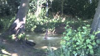 German Shepherd/bullmastiff (13 Months Old) Playing On A Rope Swing In Bodicote Brook