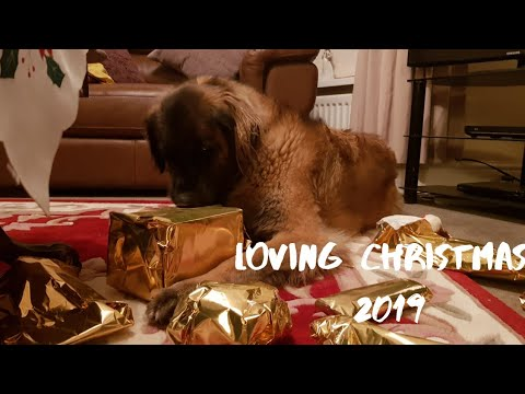 MY DOG OPENING CHRISTMAS PRESENTS 2019 | Leonberger dog #funnydogs #dogs #christmas
