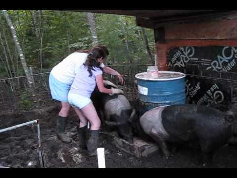 Sizing Up Pigs Take 2 Youtube