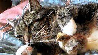 優しい! 小鳥に母親のような対応をする猫
