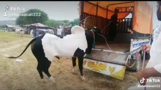 Dangerous Bull On Eid-Ul-Adha 2019    Angry Cows    Funny Moments