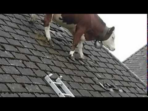 Cow Stuck On Roof Is The Most Bizarre Thing You Ll See All