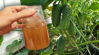 Для огурцов в августе это просто живая вода Огурцы зеленеют на глазах и плодоносят до октября