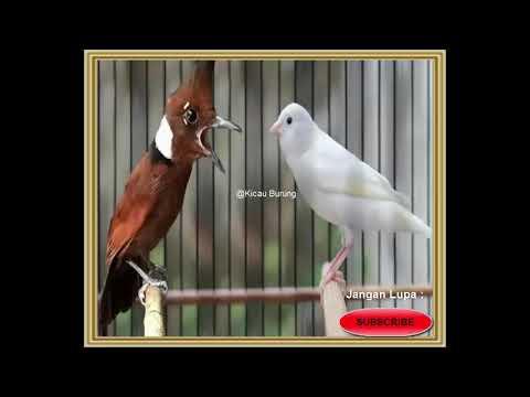Download Lagu Burung Cililin Vs Kenari Gacor Untuk Masteran Burung ~ @KICAU BURUNG!!!