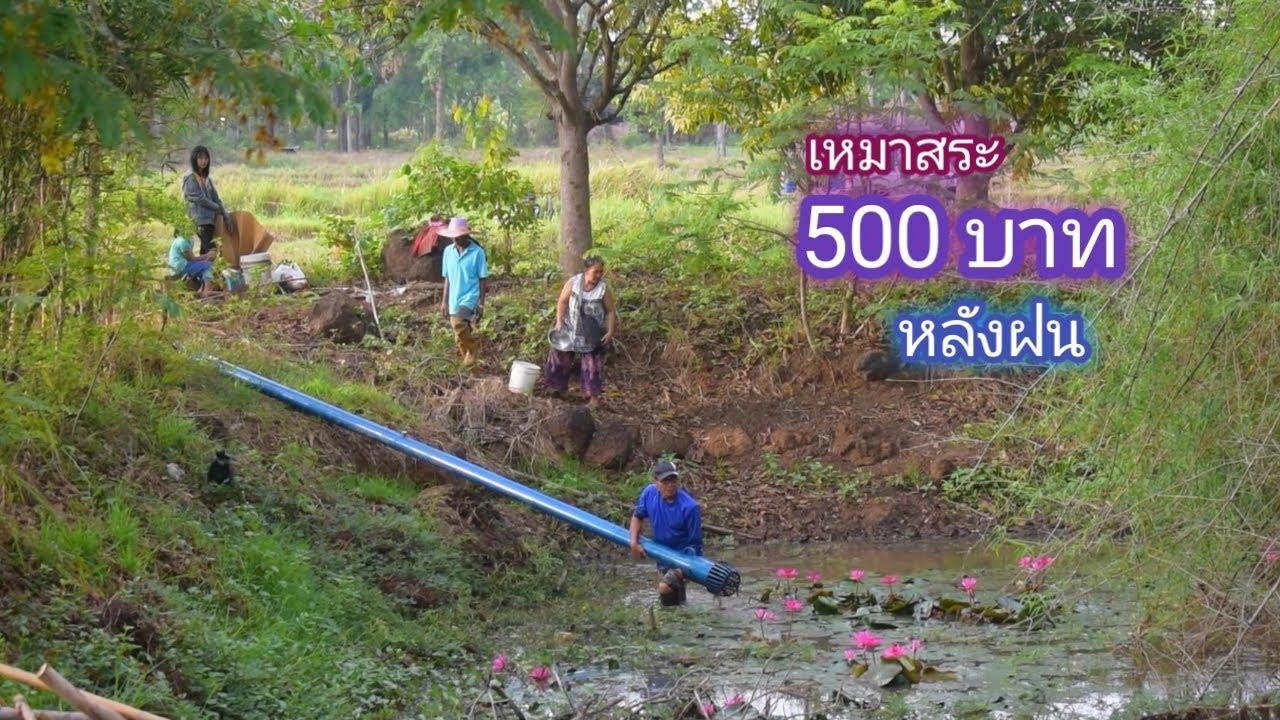 เหมาสระ 500 บาท ในบรรยากาศหลังฝน กับสระที่เจ้าของไม่เคยสนใจ จะมีปลาอะไร / บ้านนอก EP.306