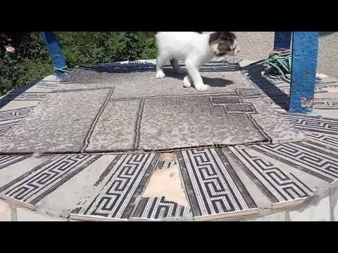 Turkish Van kittens walk in the sunshine
