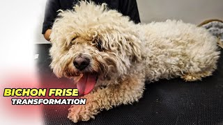BICHON FRISE GROOMING Transformation   Pet   Dog Grooming   The Dog   Dog Welfare