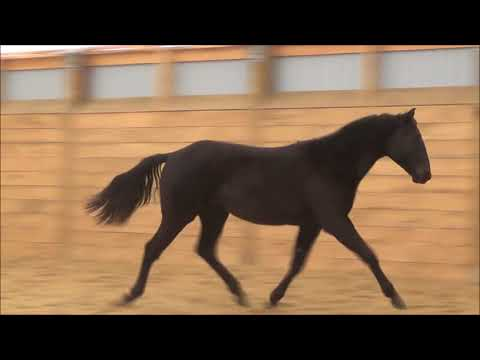 Outstanding Black AQHA Gelding - Eagle !!!