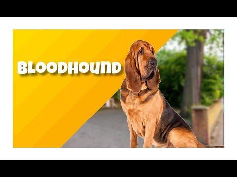 o-bloodhound---cinobras-tv---tudo-sobre-cinofilia.