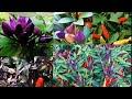Planting Ornamental Rainbow Pepper Seeds