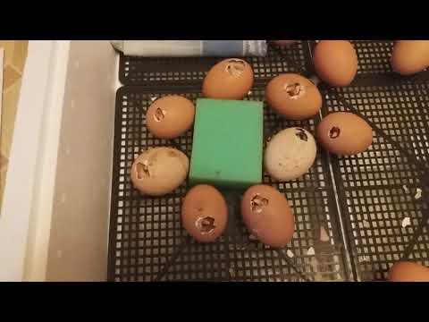 Цыплята. 5-я часть. 21-й день инкубации куриных яиц.