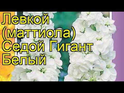 Левкой седой Гигант Белый. Краткий обзор, описание характеристик, где купить семена matthiola incana