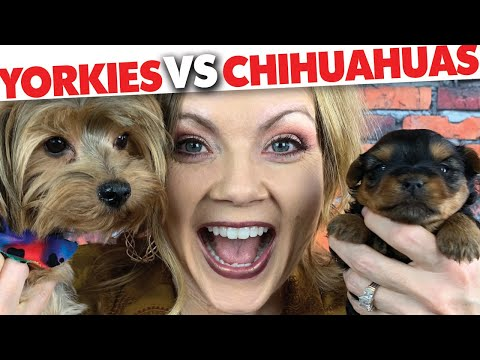 Yorkies vs Chihuahuas!! Which is the better breed for you? | Sweetie Pie Pets