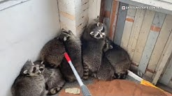 11 raccoons removed from Toronto home under construction