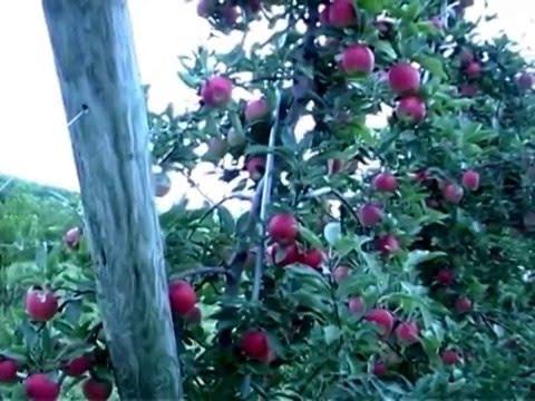 Formado y  Poda de Manzano (Pruning and Training Apple Trees)